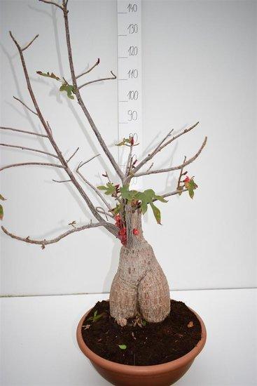 Brachychiton bidwillii pot Ø 40 cm