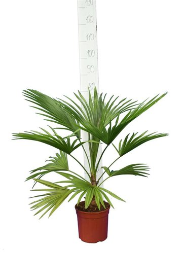 Trithrinax acanthocoma total height 80-100