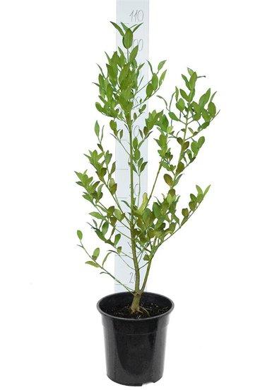 Laurelia sempervirens 7 ltr