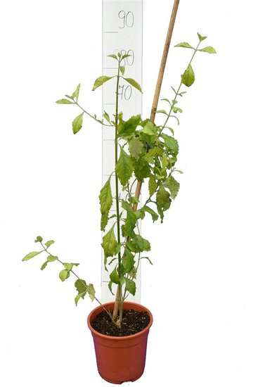 Duranta erecta total height 80-100 cm