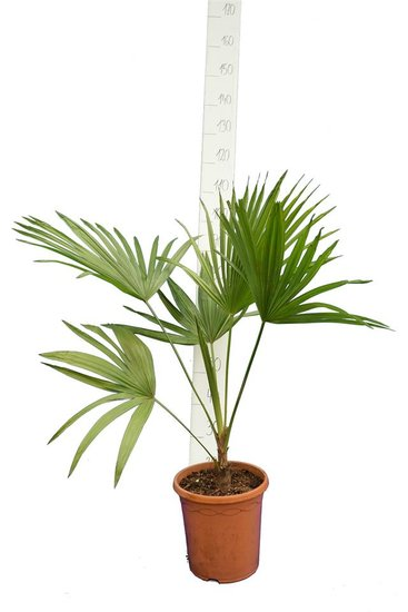 Trithrinax acanthocoma trunk 5-15 cm total height 90-110 cm