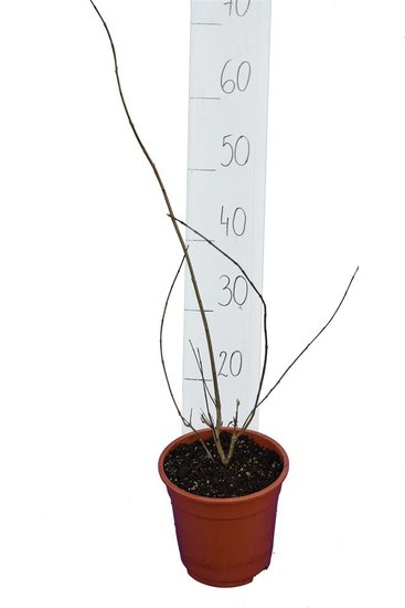 Punica granatum Pleniflora pot Ø 17 cm