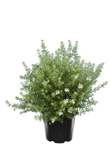 Westringia longifolia pot Ø 20 cm