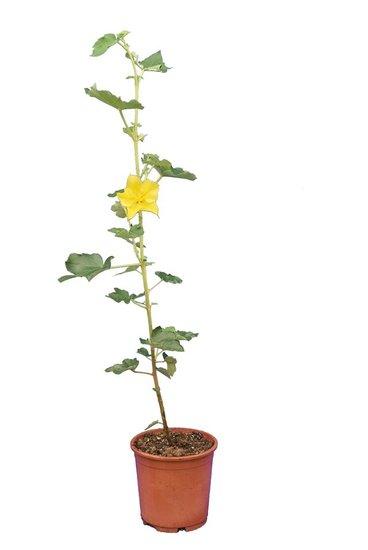 Fremontodendron California Glory pot Ø 17 cm
