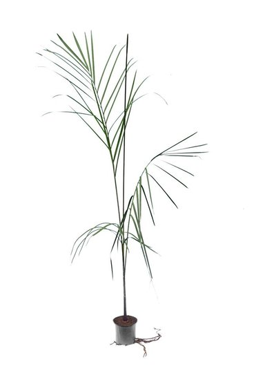 Dypsis plumosa pot Ø 12 cm