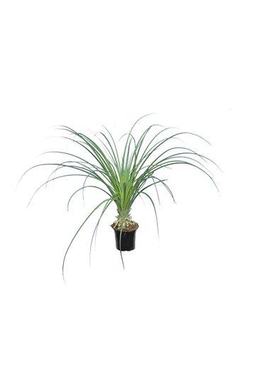 Puya mirabilis pot Ø 13 cm