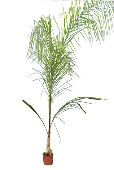 Syagrus romanzoffiana sp. Santa Catarina - total height 200+ cm - pot Ø 20 cm