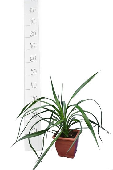 Yucca aloifolia - total height 35-45 cm - pot 14x14 cm