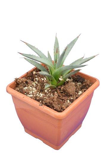 Agave utahensis - 14x14 cm pot