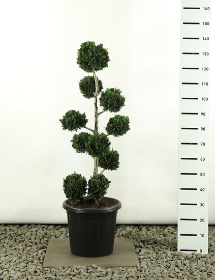 Chamaecyparis lawsoniana Wisselii Multibol - total height 100-125 cm