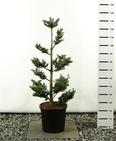 Abies fraseri multiplateau total height 100-125 cm