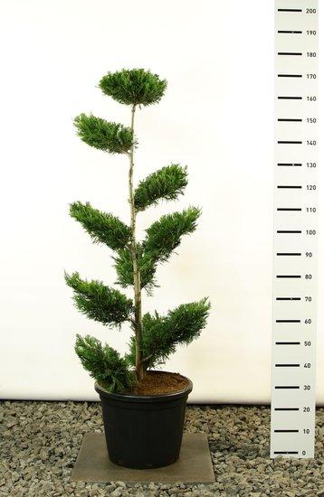 Cupressocyparis leylandii multiplateau extra - total height 170-200 cm