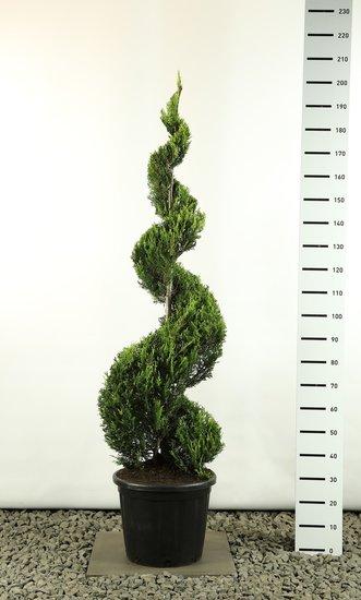 Cupressocyparis leylandii sp. Castlewellan Gold spiraal extra - spiral 160-180 cm