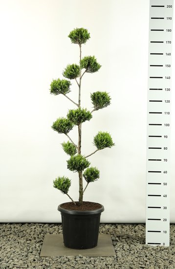 Cupressocyparis leylandii sp. Castlewellan Gold Multibol - total heigth 125-150 cm