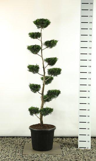 Cupressocyparis leylandii multiplateau flat - total height 200-225  cm
