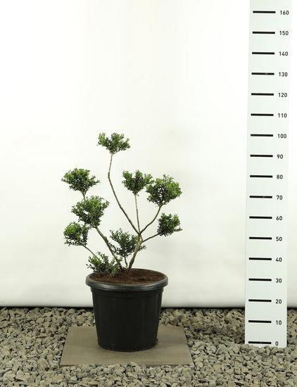 Ilex crenata Convexa Multibol - total height 80-100 cm