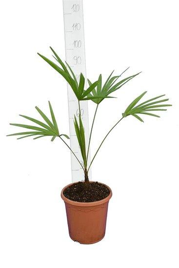 Trachycarpus latisectus - trunk 5-15 cm - total height 80-100 cm - Ø 26 cm pot