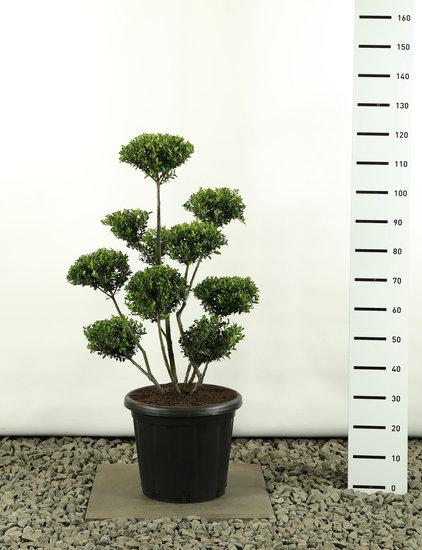 Ilex crenata Green Hedge Multiplateau extra - total height 125-150 cm