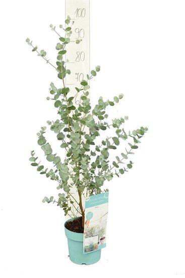 Eucalyptus gunnii Azura pot Ø 17 cm - 2 ltr