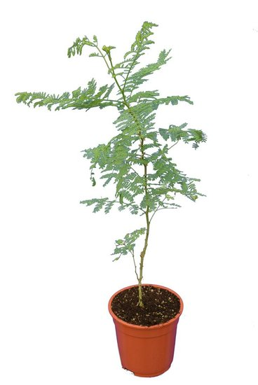 Caesalpinia gilliesii total height 60+ cm - pot Ø 17 cm