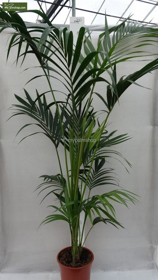 Howea Forsteriana total height 160-180 cm - pot Ø 24 cm