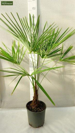 Trachycarpus sp. Kumaon trunk 10-20 cm - total height 130-150 cm - pot Ø 30 cm