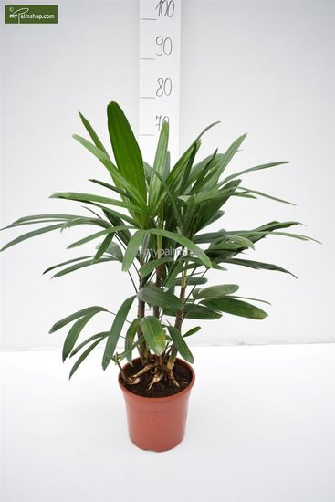 Rhapis excelsa total height 80-100 cm - pot 2.5 ltr