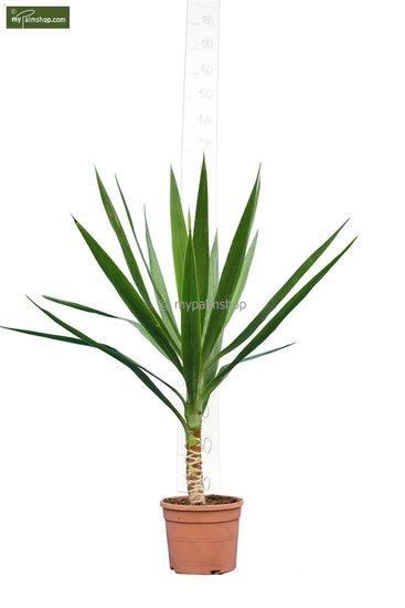 Yucca Elegans total height 80-100 cm - trunk 10-20 cm - pot Ø 20 cm