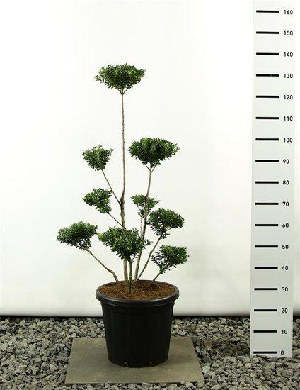 Ilex maximowicziana kanehirae multiplateau 125-150 cm