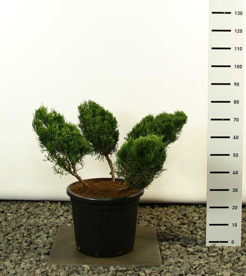 Juniperus media Mint Julep Multiplateau 4 branches - total height 125-150 cm