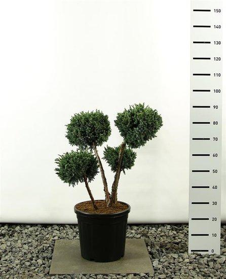 Juniperus squamata Meyeri multibol 80-100 cm