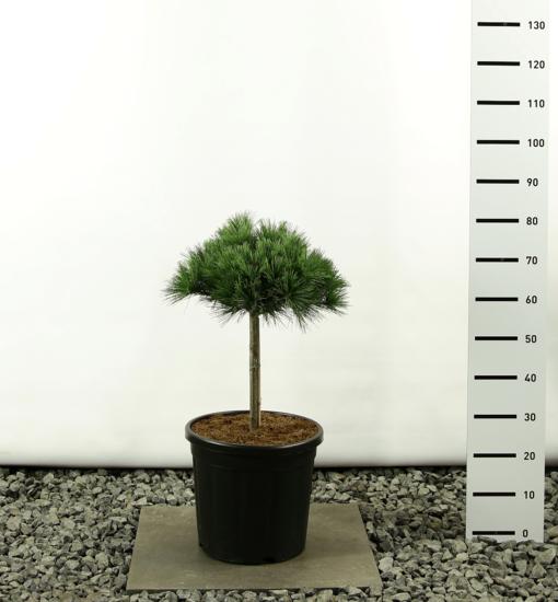 Pinus strobus Radiata Blue Shag ball on trunk