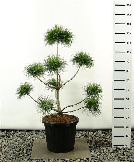 Pinus sylvestris multiplateau - total height 100-125 cm