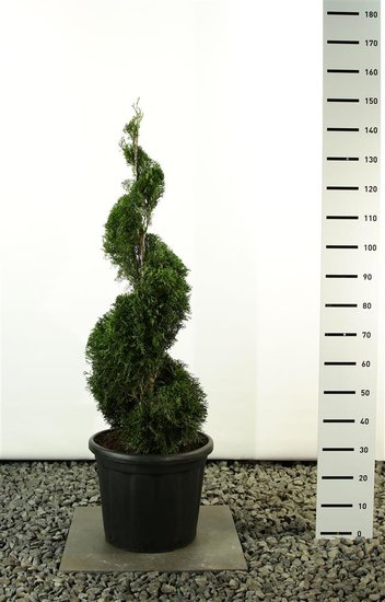 Thuja occidentalis smaragd emerald spiral total height 125-150 cm