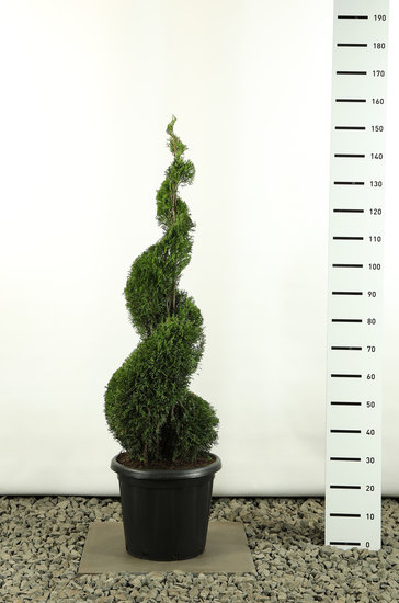 Thuja occidentalis Smaragd Spiral - total height 125-150 cm