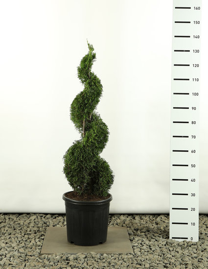 Thuja occidentalis Smaragd Spiral - total height 100-125 cm
