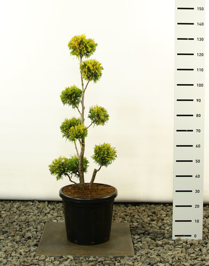 Thuja occidentalis Yellow Ribbon Multibol - total height 100-125 cm