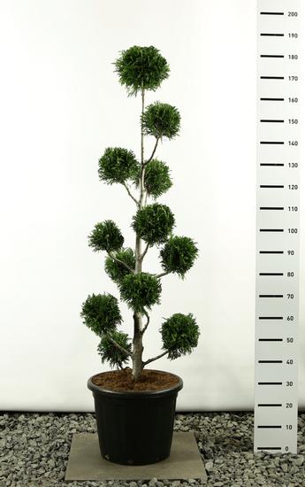 Thuja plicata Martin Multibol - total height 150-170 cm