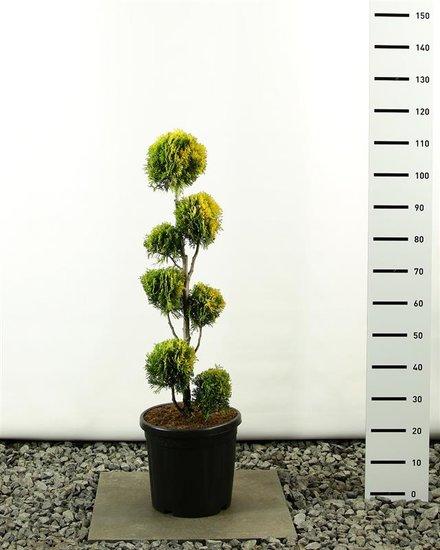 Thuja occidentalis Golden Smaragd Multibol - total height 100-125 cm