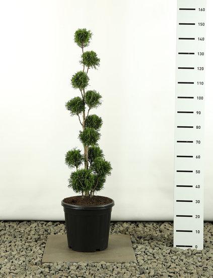 Thuja occidentalis Golden Smaragd Multibol - total height 125-150 cm