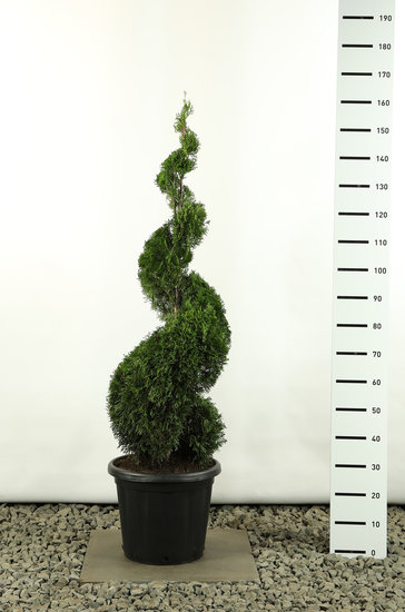 Thuja occidentalis Smaragd Spiral - total height 150-170 cm