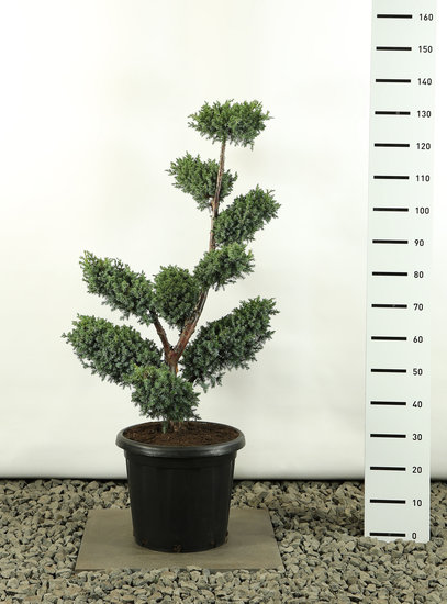 Juniperus chinensis Blue Alps multiplateau- total height 100-125 cm