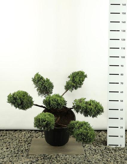 Juniperus squamata Holger Multiplateau - total height 100-125 cm
