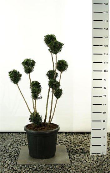 Taxus media Hicksii Multibol - total height 100-125 cm