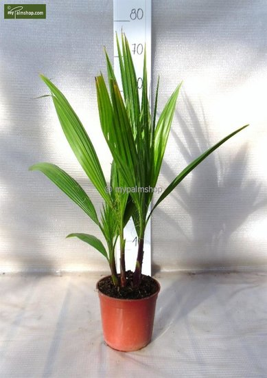 Washingtonia robusta Multistam pot Ø 15cm - total height 50-70 cm