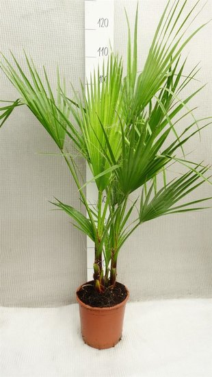 Washingtonia robusta Multistam pot Ø 22cm - total height 80-100 cm