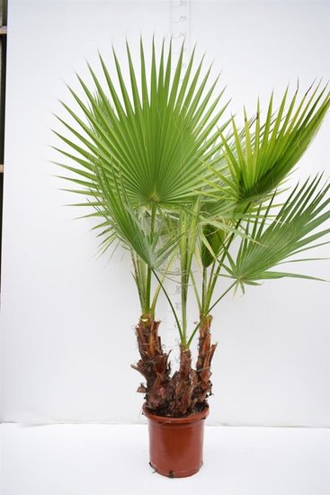 Washingtonia robusta Multitrunk pot Ø 35cm - total height 140+ cm