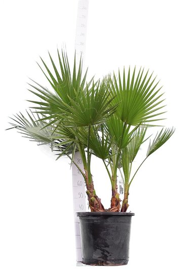 Washingtonia robusta Multistam pot Ø 45 cm - total height 140-160 cm