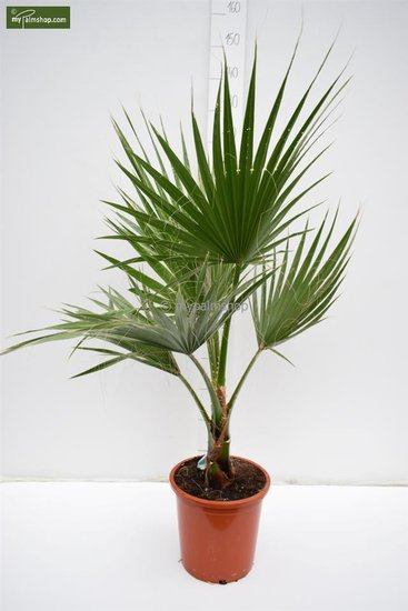 Washingtonia robusta pot Ø 26 cm - total height 100-130 cm
