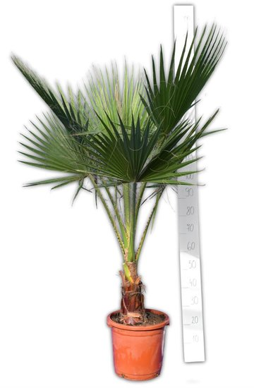 Washingtonia robusta trunk 20-30 cm - potØ 32 cm - total height 150-180 cm